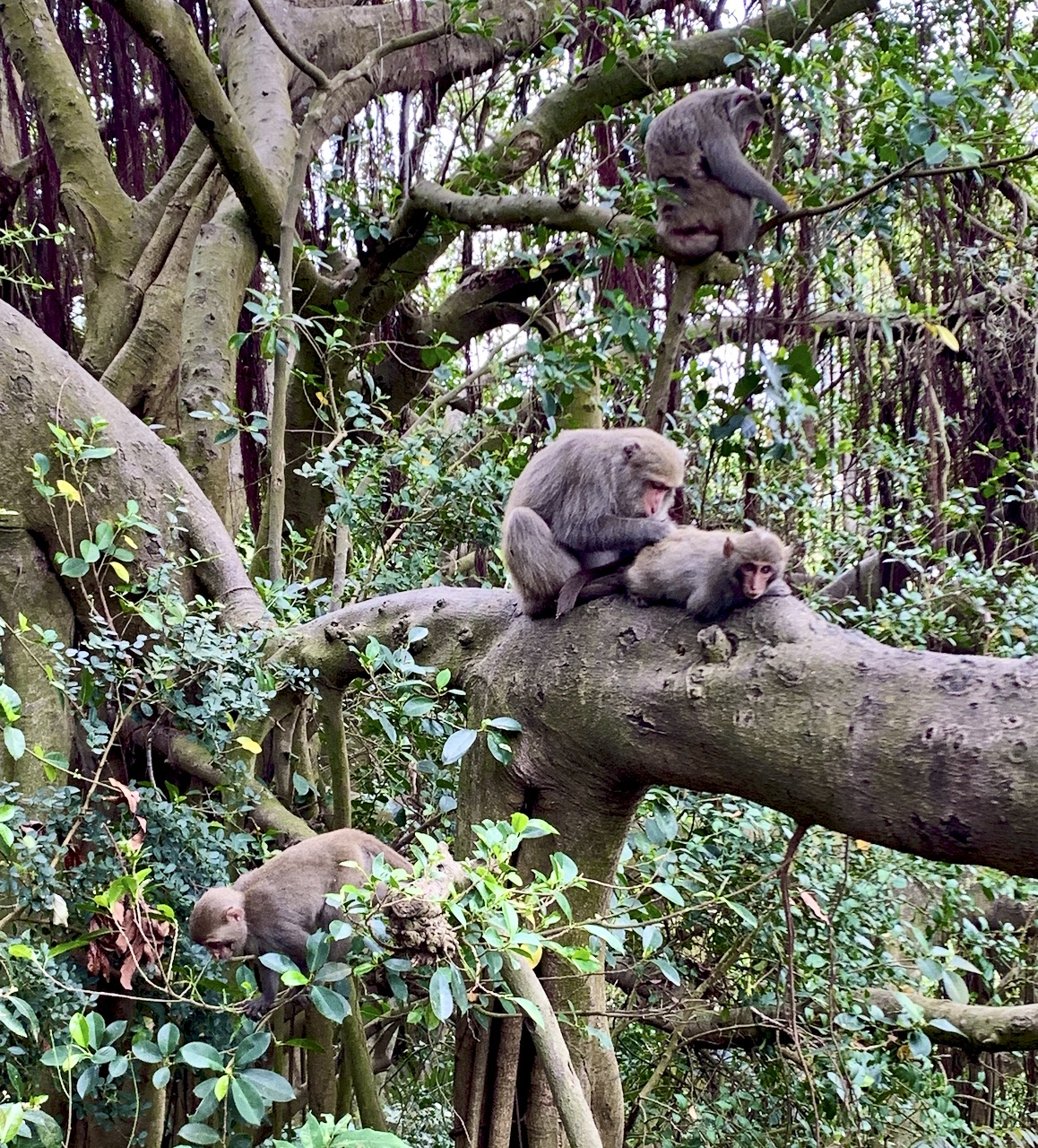 Four formosan rock macaques in a tree