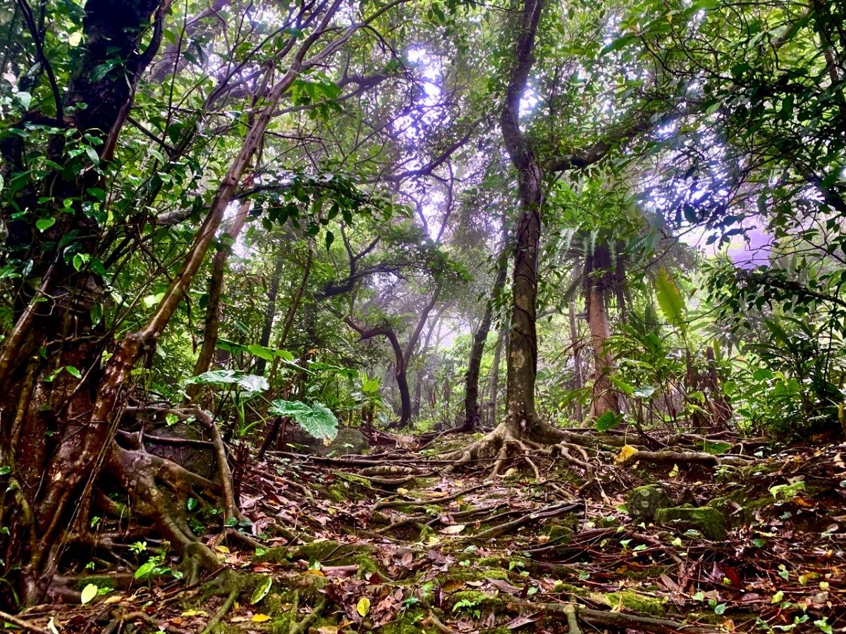 Tangled jungle roots